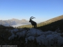 Steinbock im Churfirstengebiet - 23.10.2012